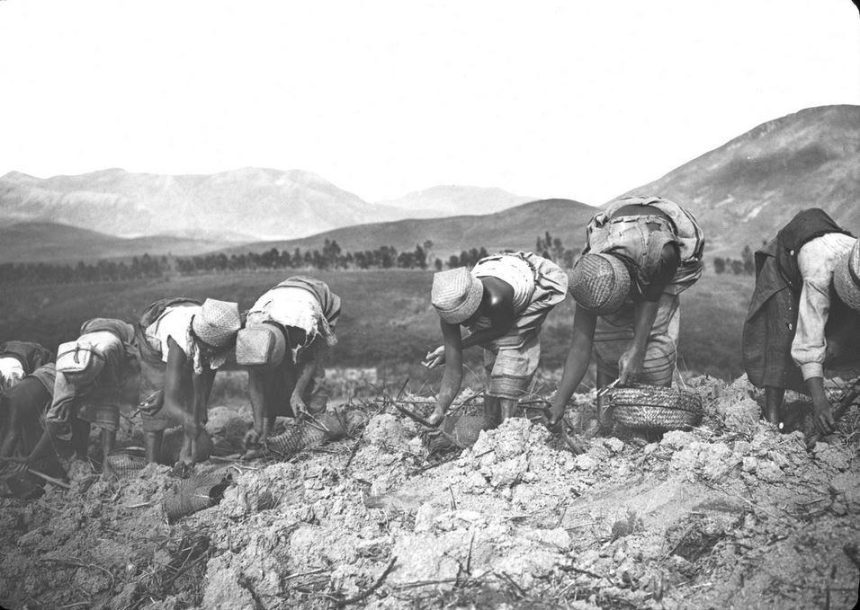 Manioc : mise en place des boutures, Madagascar, 1922