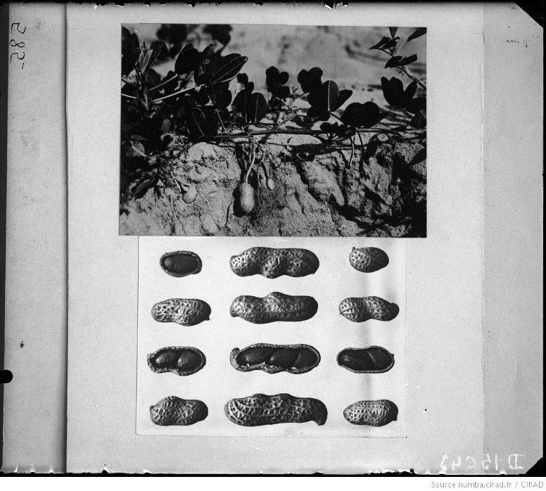 Arachides à une deux et trois graines
