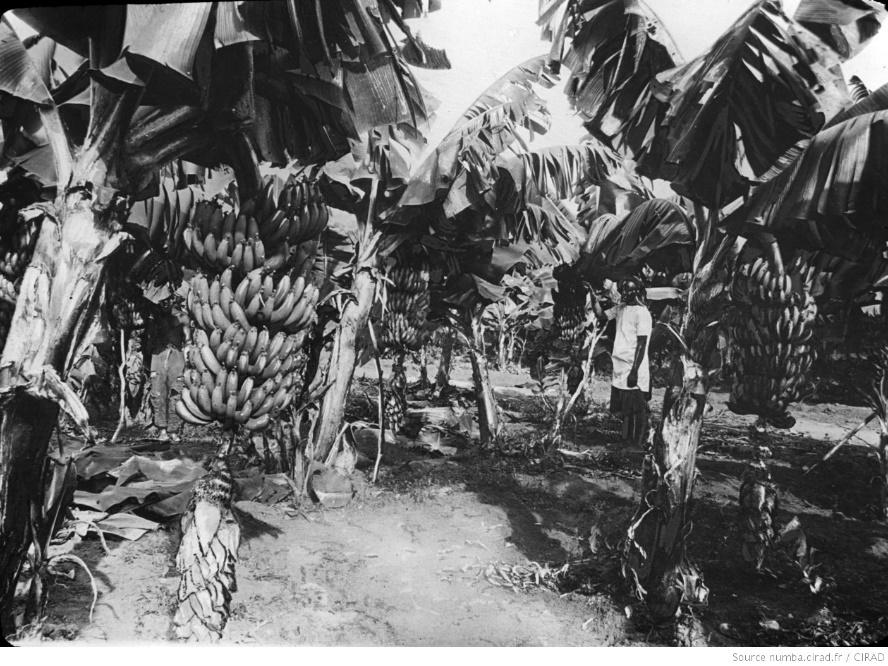 Bananeraie en Guinée française