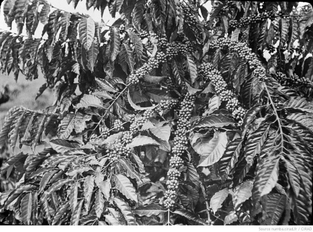 Image Gros plan sur les branches couvertes de cerises de café