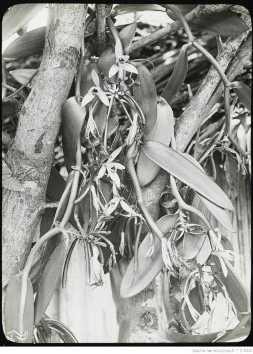 Liane de vanille en fleurs à Madagascar